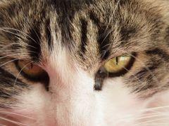 Chat yeux qui coulent clair
